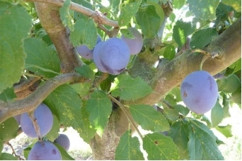 P pini res d 39 evrecy v g taux fruitiers pruniers - Taille des pruniers mirabelles ...